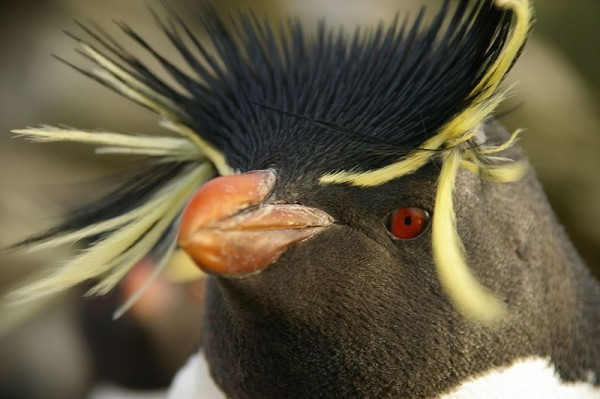 A rockhopper penguin, image from Wikipedia