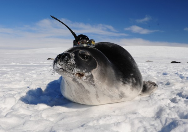 A Weddell seal is shown wearing a Sea Mammal Research Unit Conductivity Temperature Depth tag in McMurdo Sound Antarctic. Photograph by Dan Costa. Image from Actionbioscience.org