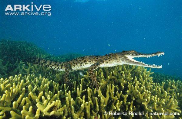 young salt water crocodile
