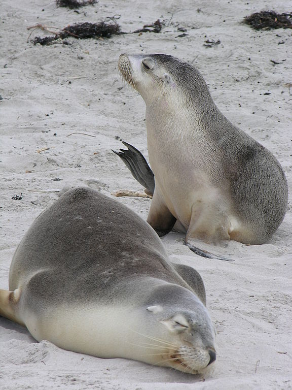An Australian Sea Lion Image from Wikipedia