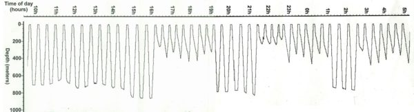 This figure shows the diving behavior of a male elephant seal. Dives lasting 20-40 minutes of nearly vertical profiles are followed by very short breaks. Image from, National Marine Mammal Laboratory, Alaska Fisheries Science Center, NOAA Fisheries, used with permission.