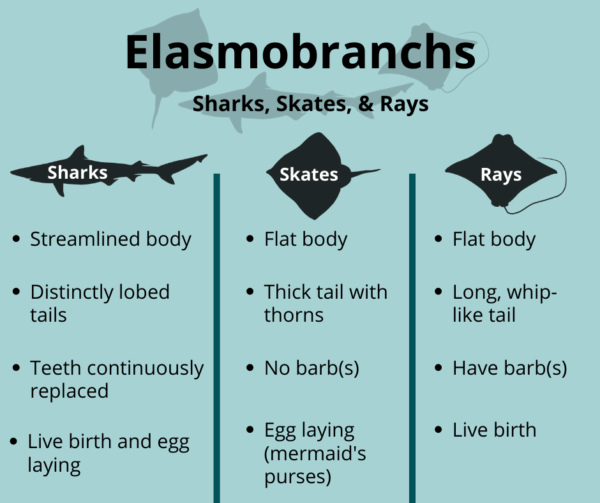 A comparison of features from sharks, skates, and rays.